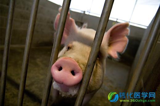 在农场动物身上培育器官的研究引发了许多伦理争议