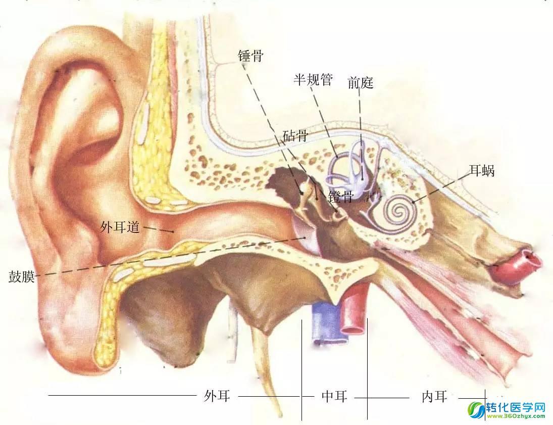 小鼠大脑组织结构图