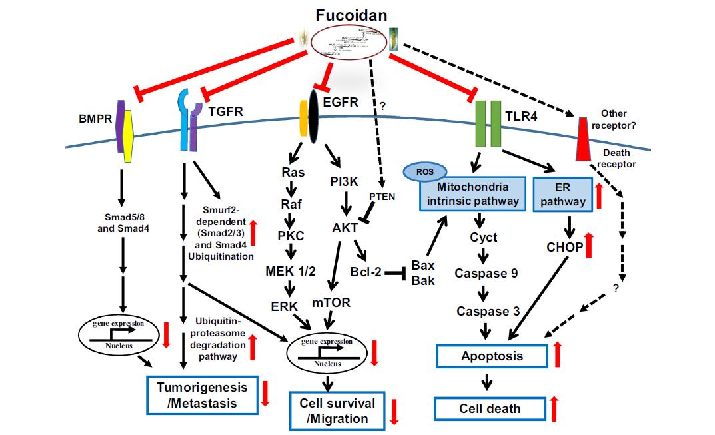 小分子褐藻糖膠在輔助性癌癥療法轉化醫學的臨床應用