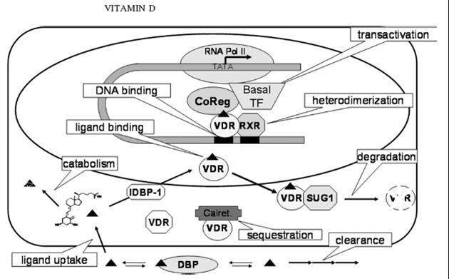 VDR(Vitamin D (1,25- dihydroxyvitamin D3) receptor )编码维生素D3的核激素受体,该蛋白也是胆石酸的第二受体。VDR属于转录调控因子,为类固醇激素/甲状腺类激素受体超家族的成员。该蛋白对基因表达的调节主要通过一系列代谢反应通路,包括免疫反应通路和肿瘤激活通路。该基因的突变会导致维生素D缺乏引起的佝偻病。多项国内外研究证实,VDR基因与钙等金属离子在体内的吸收代谢有显著相关性。 基因简介 VDR基因定位于12q13.