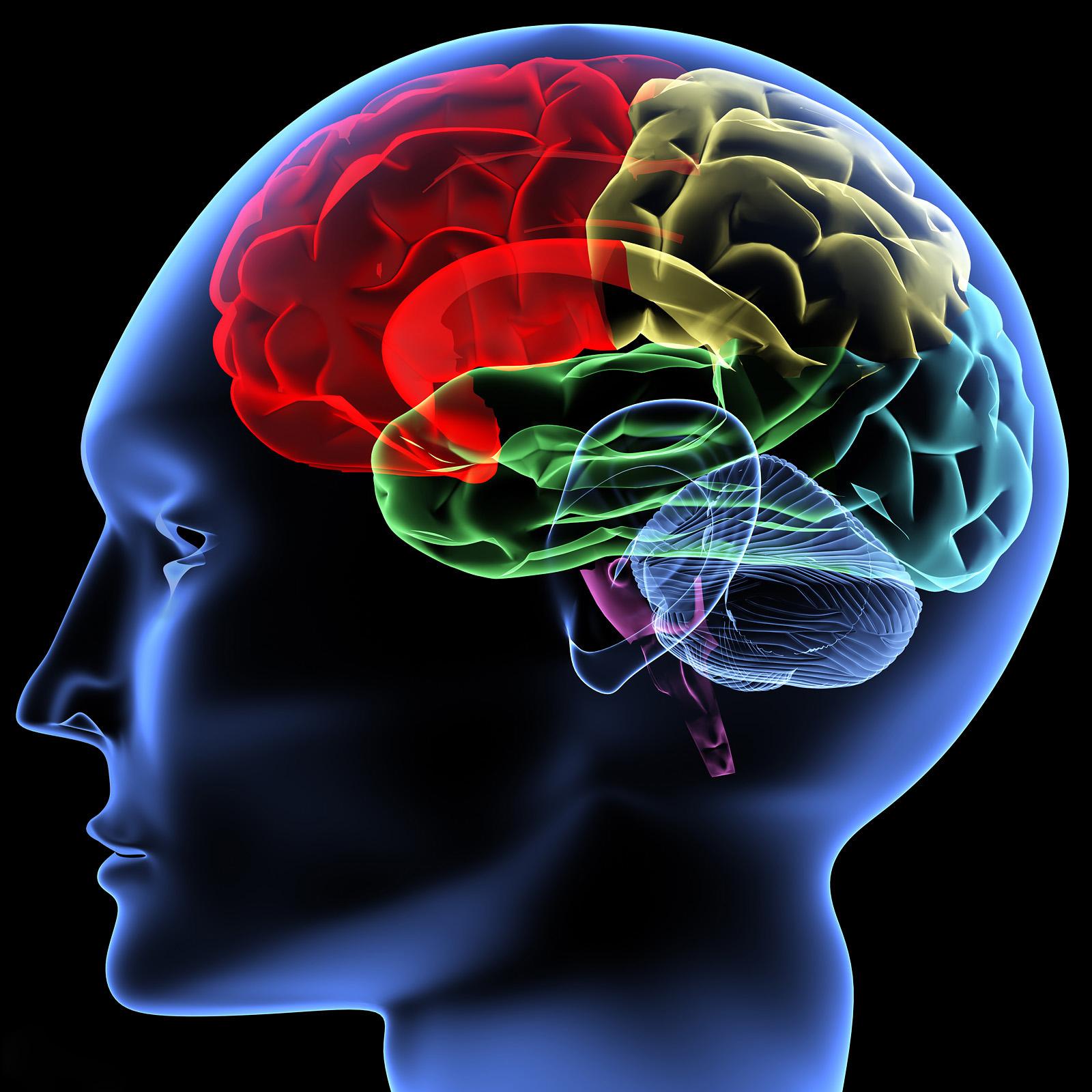 人类干细胞培育出3d微型大脑